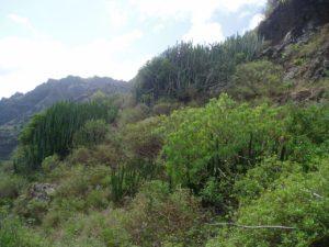 Barranco de Anosma - Vegetación