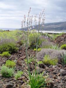 Flora en Malpais de Güimar